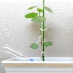綿栽培(8)綿花の成長記録 第6週~第8週:自動給水ノズルを試したり。