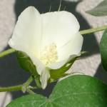 綿栽培(11)綿花の成長記録 第13週:綿の花がかわいすぎてでれでれ