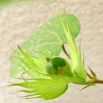 綿栽培(12)綿花の成長記録【最終回】コットンボール収穫できず。無念・・・